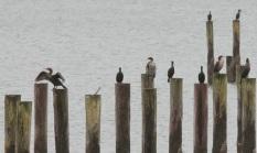 Cormorants plus one Great Blue Heron (JK)
