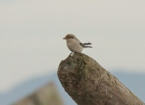 Northern Shrike (JK)