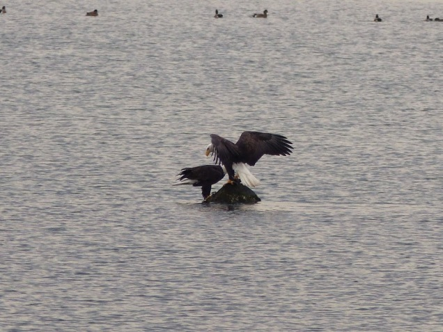 Bald Eagles share a meal(LS)