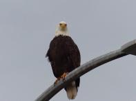 Bald Eagle (LS)