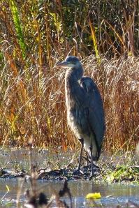 Great Blue Heron (MS)