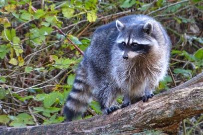 raccoon (MS)