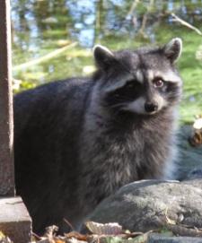 Raccoon (RM)