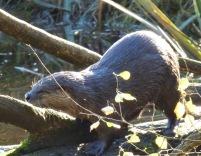 River Otter (RM)