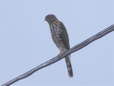 Sharp-shinned Hawk (RM)
