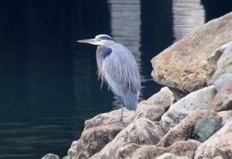 Great Blue Heron (TC)