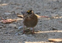Golden-crowned Sparrow (TC)