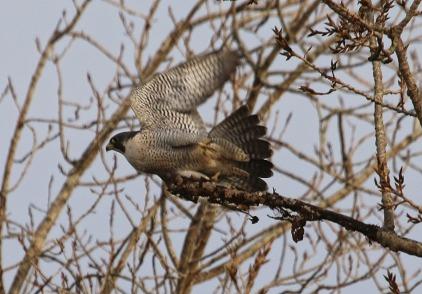 Peregrine Falcon (TC)
