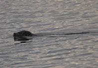 Harbour seal (TC)