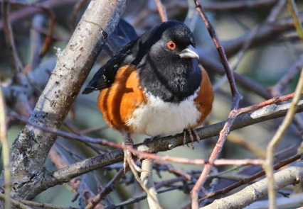 Spotted Towhee (TC)