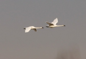 Trumpeter Swans (TC)