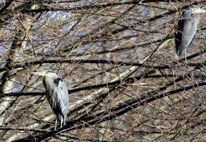 Great Blue Herons (TC)