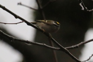Golden-crowned Kinglet (m) (TC)