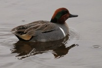 Green-winged Teal (m) (TC)