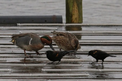 Green-winged Teal & Red-winged Blackbirds (TC)