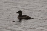 Ruddy Duck (TC)