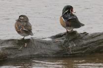 Wood Duck pair (TC)