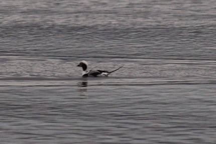 Long-tailed Duck (TC)
