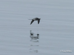 Long-tailed Duck (TM)