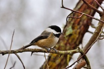Black-capped Chickadee (DM)