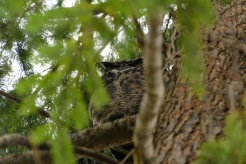 Great Horned Owl (DM)