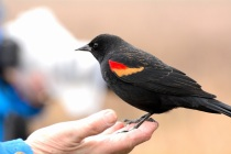 Red-winged Blackbird (DM)
