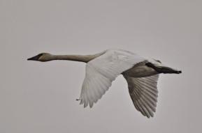 Trumpeter Swan (GB)