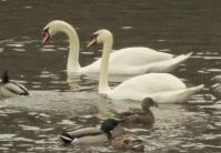 Mute Swans (JK)
