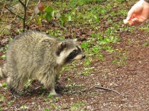 Raccoon (JK)