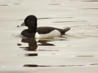 Ring-necked Duck (m) (JK)
