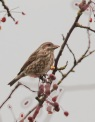 Purple Finch (f) (JK)