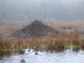 Beaver lodge (RM)