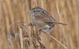 Swamp Sparrow (RM)