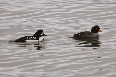 Barrow's Goldeneye pair (TC)