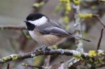 Black-capped Chickadee (TC)