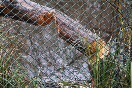 Beaver damage (TC)
