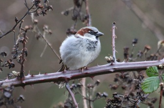 House Sparrow (TC)