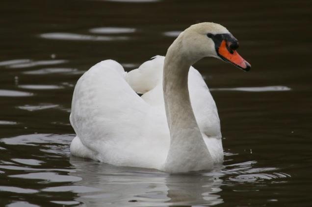 Mute Swan (TC)