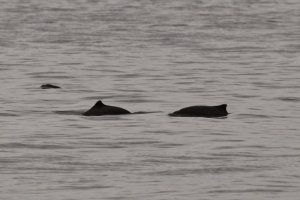 Harbour Porpoises (TC)