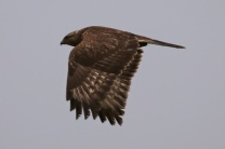Rough-legged Hawk (tag R8) (TC)