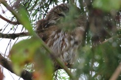Saw-whet Owl #3 (TC)