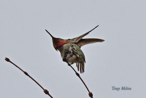 Anna's Hummingbird (TM)