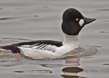 Common Goldeneye (m) (TM)