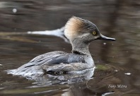 Hooded Merganser (f) (TM)