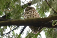 Barred Owl (DM)