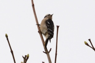 Downy Woodpecker (DM)