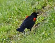 Red-winged Blackbird (GB)