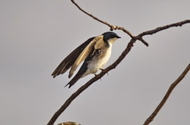 Tree Swallow (GB)