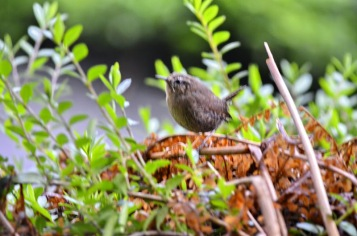 Pacific Wren (GB)