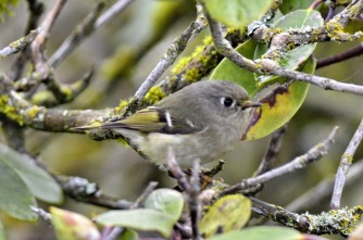 Ruby-crowned Kinglet (GB)